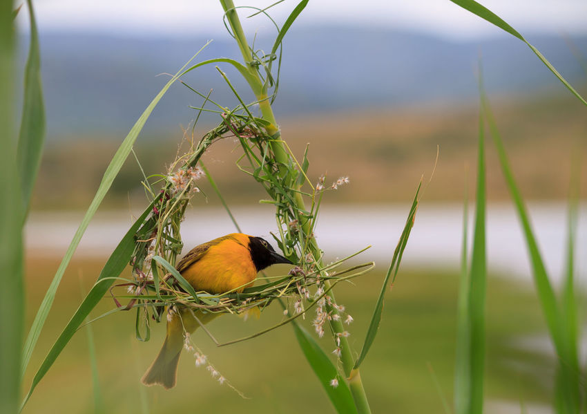 Weaving a home Pilansberg National Park South Africa Animal Themes Animal Wildlife Animals In The Wild Beauty In Nature Bird Close-up Day Focus On Foreground Grass Nature Nest Building No People One Animal Outdoors Perching Water