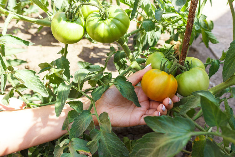 Cropped image of woman hand touching tomato growing on plant
