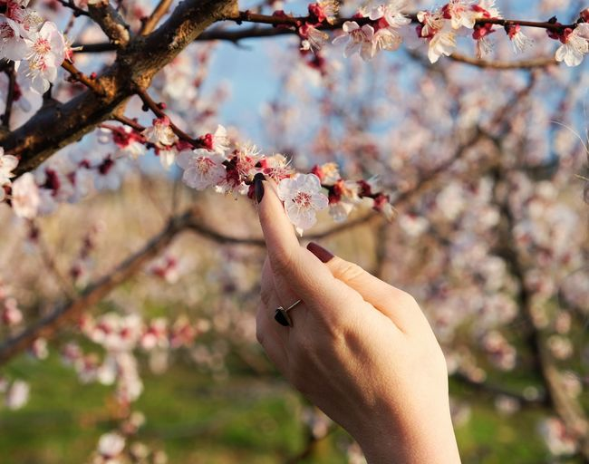 Spring Springtime Primavera Human Hand Tree Flower Branch Springtime Fruit Blossom Orchard Cherry Tree Close-up