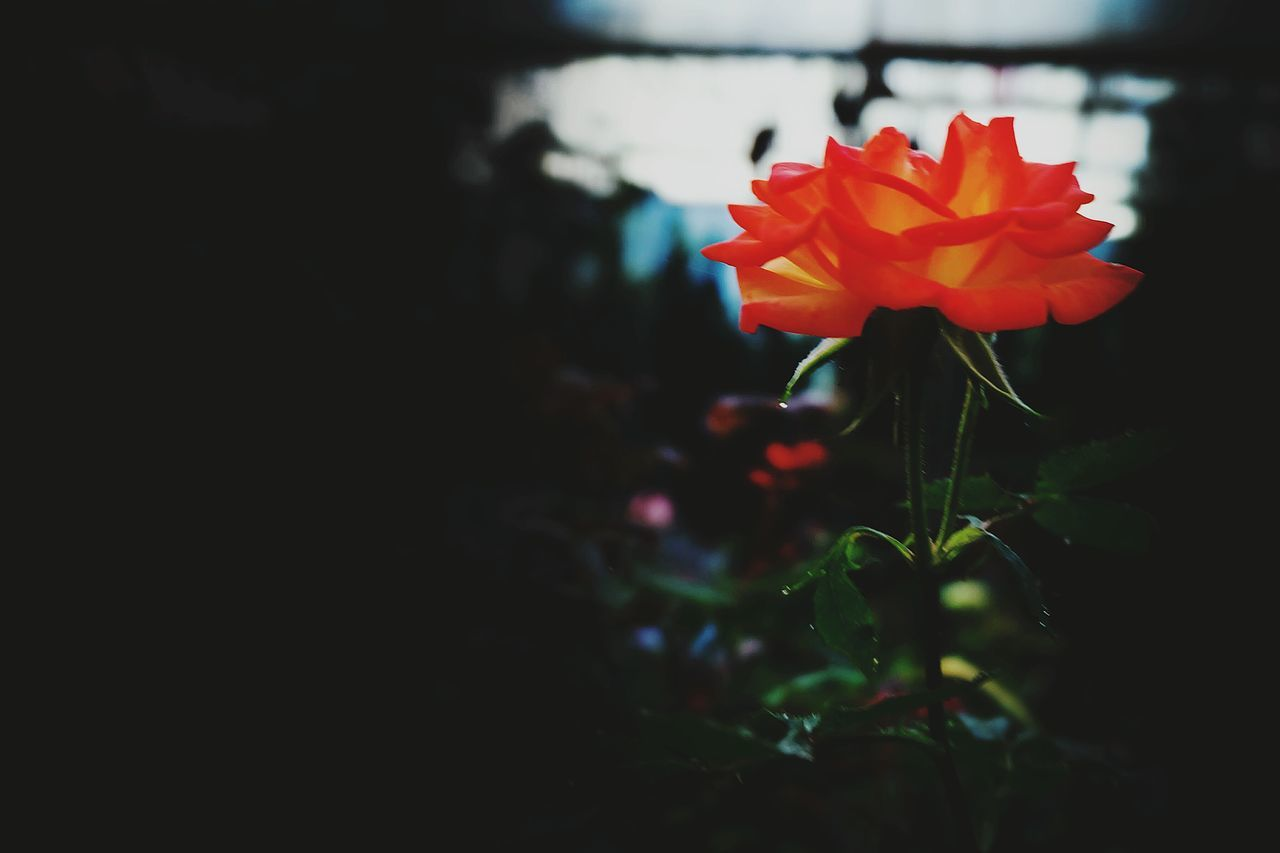 flower, petal, fragility, growth, beauty in nature, nature, freshness, flower head, plant, close-up, red, blooming, no people, outdoors, day