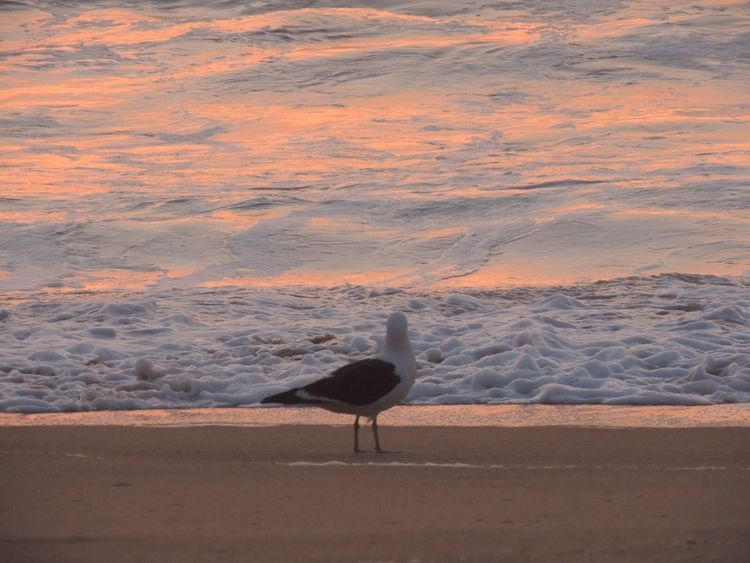 Beach Photography Life Is A Beach Seagull And Sea Waves, Ocean, Nature Waves In The Sand Waves Waves Foam One Animal In Front Of Me Sun Reflection On Water Sand Beauty In Nature Waiting For The Sunset Relaxing Walking Around Reñaca Beach , Chile
