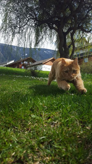my cat running towards me Cat Cats Cat♡ Cat Lovers Cats Of EyeEm Spring Grass Green Color Animal Redhair Domestic Animals Pets Animal Themes Grass Mammal Dog One Animal No People Day Nature Outdoors