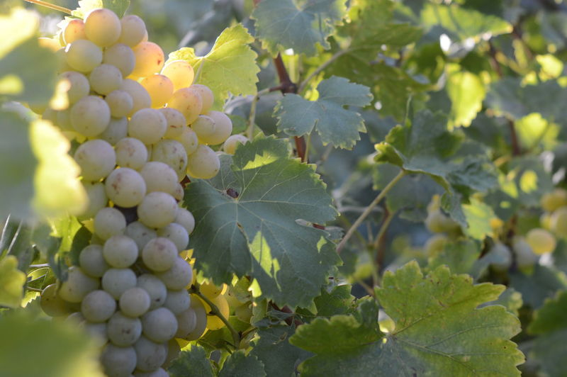 Fruits Of Autumn Grape Fruit Growth Vineyard Agriculture Wine Nature Winemaking Crop  Vine - Plant Rural Scene Close-up Food And Drink Outdoors Winery