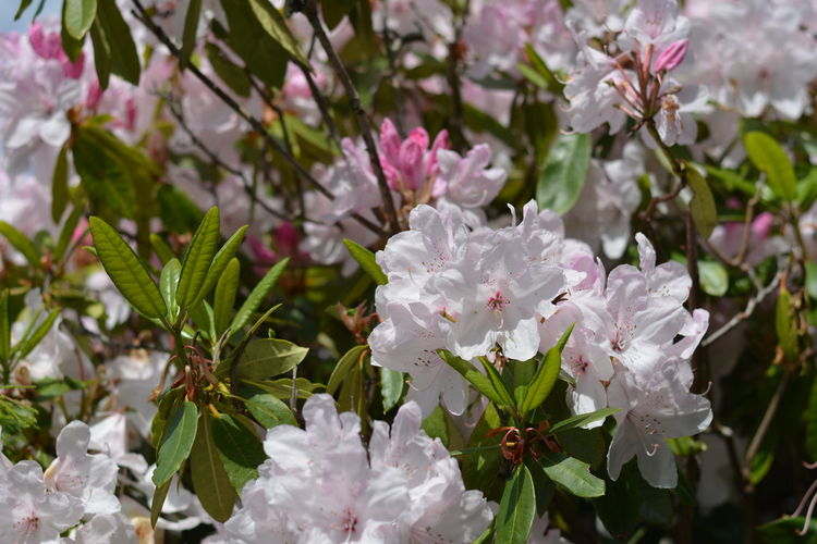 Azalea Beauty In Nature Blooming Close-up Day Flower Flower Head Focus On Foreground Fragility Freshness Growth Leaf Nature No People Outdoors Petal Pink Color Plant Rhododendron