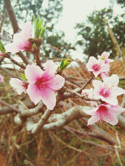 龙泉桃花开了