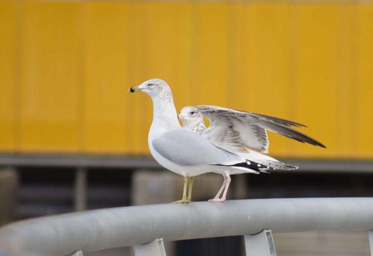 Bird Yellow Color Seagulls