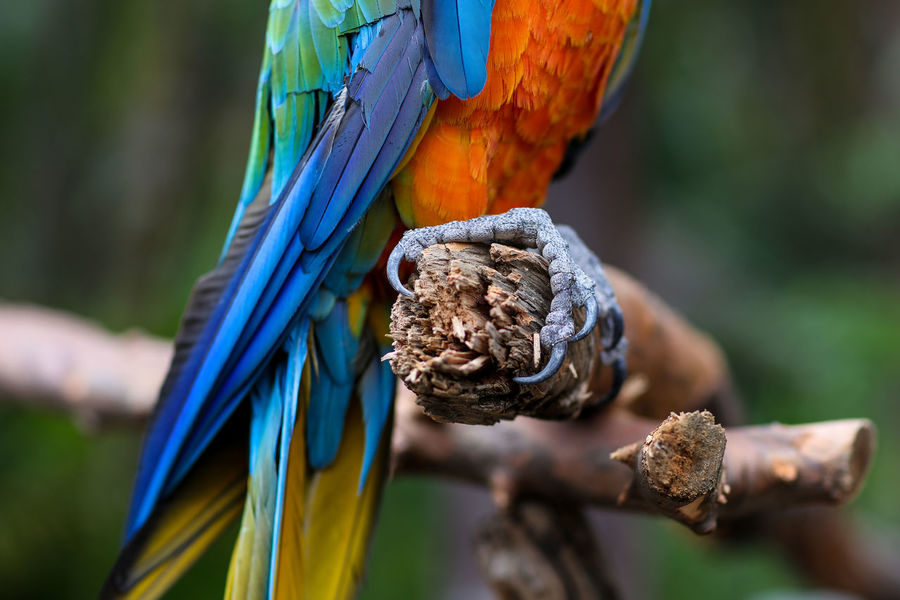 Claws Beauty In Nature Bird Bird Park Blue Claw Claws Day Focus On Foreground Gold And Blue Macaw Hanging On Macaw Multi Colored Nature No People One Animal Outdoors Parrot Perching Pets Umgeni Bird Park