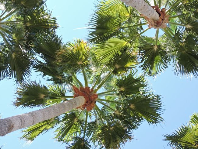 Looking up at palm trees Tree Nature Growth Beauty In Nature No People Low Angle View Outdoors Day Tranquility Branch Sky Palm Tree