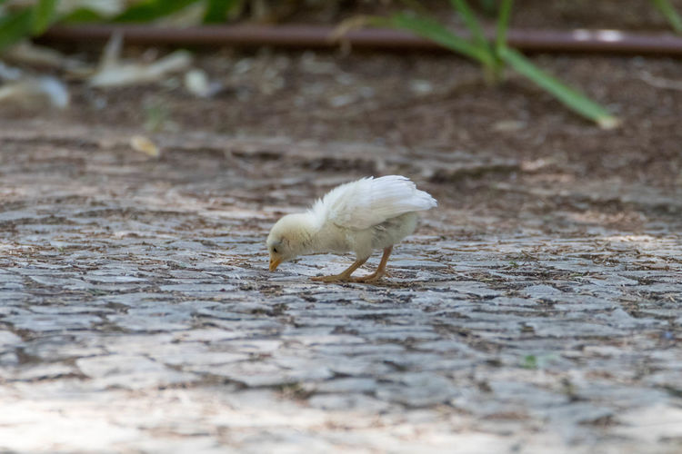 Chicken pecking on footpath