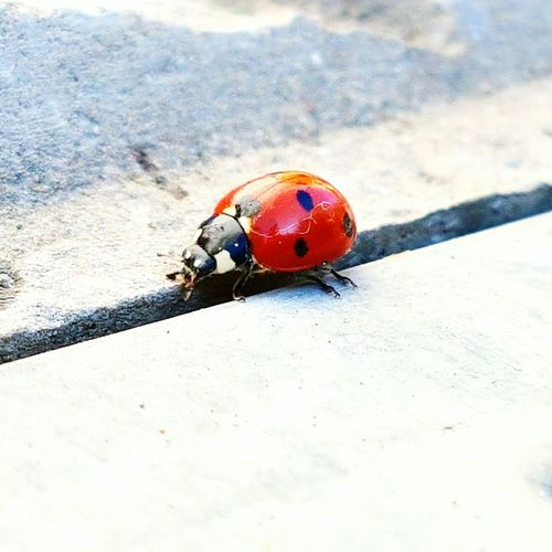 Coccinella Luck Lucky Beautiful Nature Nature_collection Nature Photography Naturelovers Taking Photos Colors Outdoors Spring Springtime Spring Is Coming  Animal Animals Animal Photography Beauty