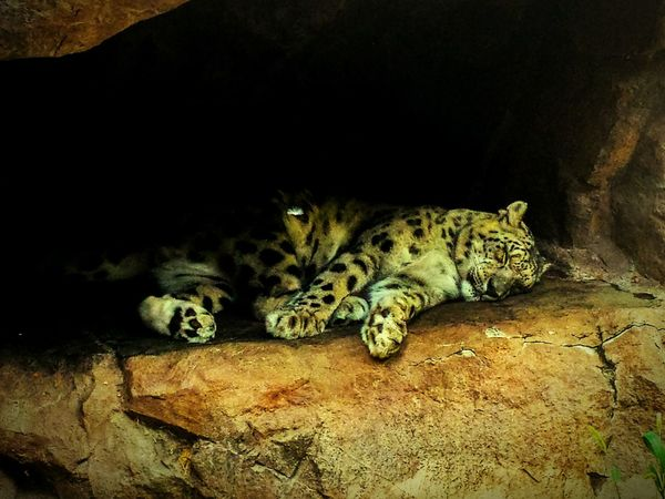 Sleeping Zoo Lepard Big Cat Cat