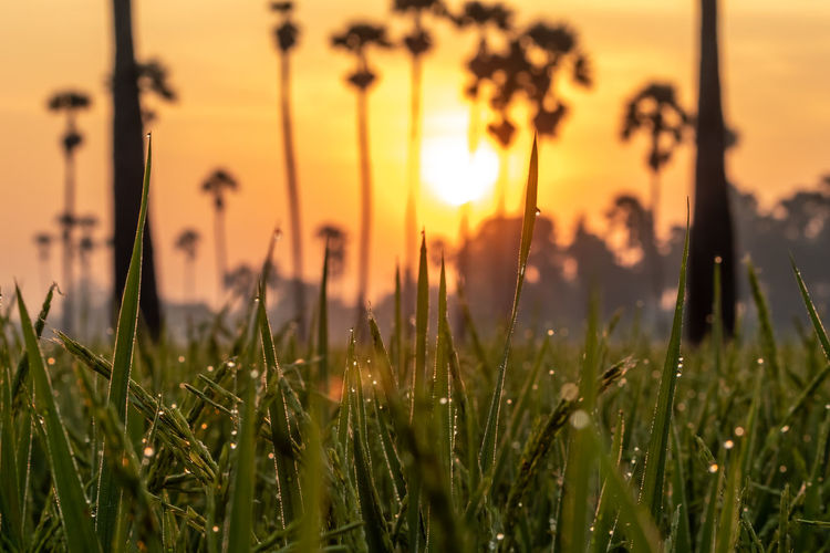 Sunrise at Dong Tan, Pathum Thani Sunset Plant Sky Growth Beauty In Nature Sun Nature Field Land Tranquility Agriculture Grass No People Crop  Orange Color Selective Focus Close-up Focus On Foreground Sunlight Outdoors Blade Of Grass