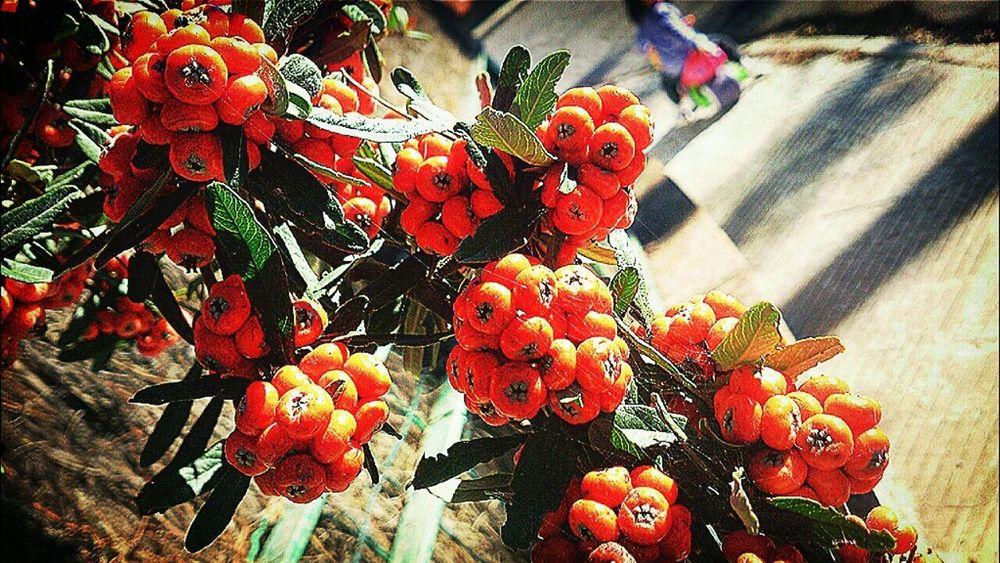 Espino de fuego bonito y traicionero Nature Landscape Eye4photography  Vallirana Flowers