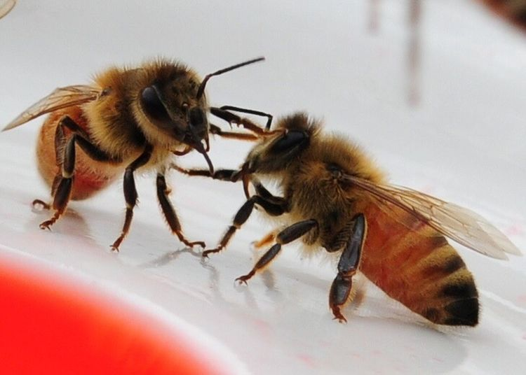 Honeybees communicating Animal Themes Animals In The Wild Insect Close-up No People Day Beauty In Nature No Filter Nature Outdoors Animal Wildlife Sugar Water No Edit. USA
