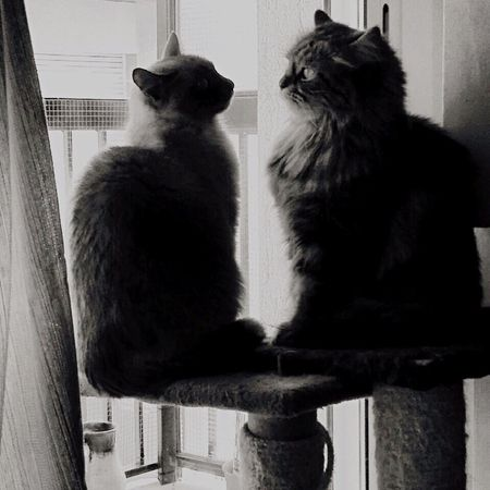Cats Love Cats Mobilephotography Tumblr Two Animals Two Cats Blackandwhite Glances Adorable Love Windows Two Siamese Cat My Favorite Photo Animal Black And White Animals