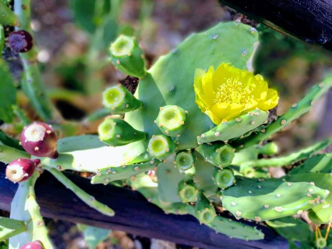 Old summer photo Summer Summertime Flower Prickly Pear Cactus Flower Head