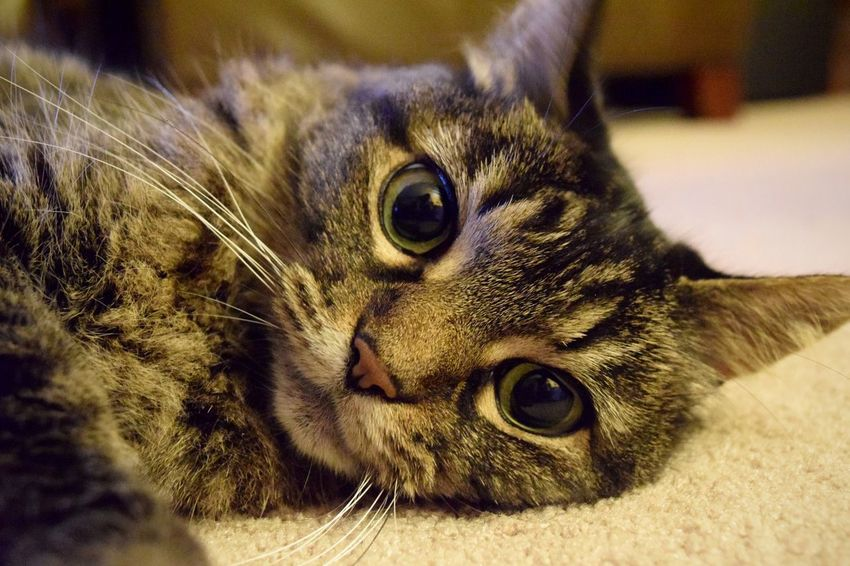 My Cat Kitty Feline Cat Lovers Cats Of EyeEm Cats 🐱 Fluffy Furry Animals Meow Furry Friends Cute Pets Cat Eyes Nikon D3300