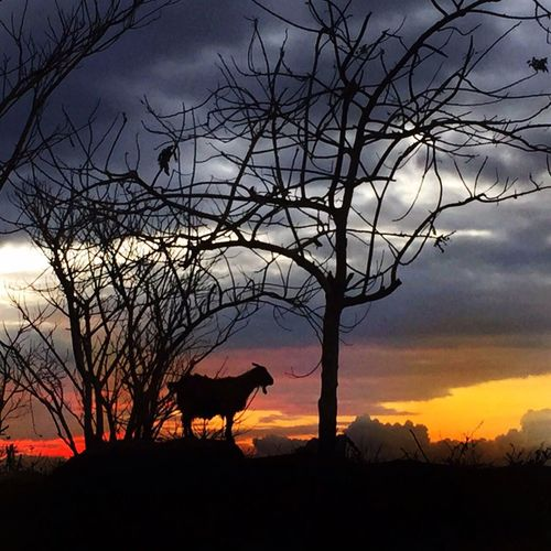 Sumba Timur Sunset Silhouettes Sunset Orange Color Sky And Clouds Goat Animal IPhoneography INDONESIA