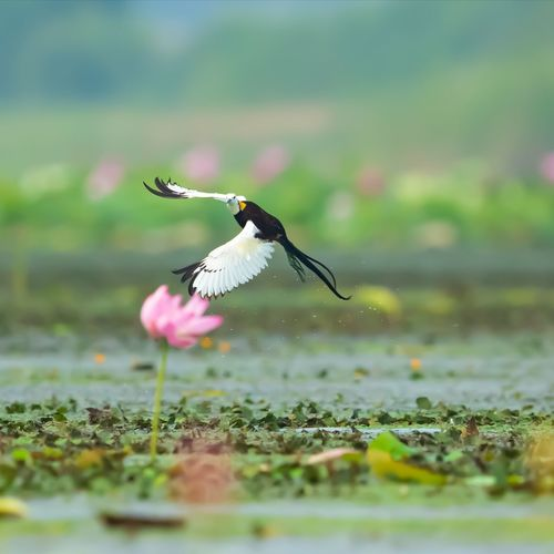 【水凤凰】荷上仙子,摄于高邮湖。