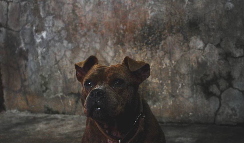 Close-up of american pit bull terrier against wall