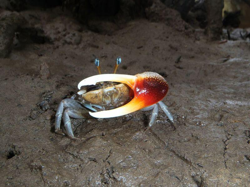 Fiddler Crab Crab Mudflat Nature Muddy Mangrove Forest Wildlife