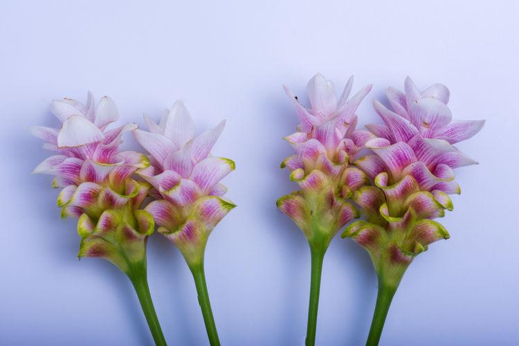 Siam Tulip On a