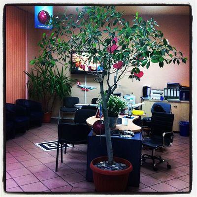 Birkenfeige Ficus Benjamini ağacım kendine gelmeye başladı !!!