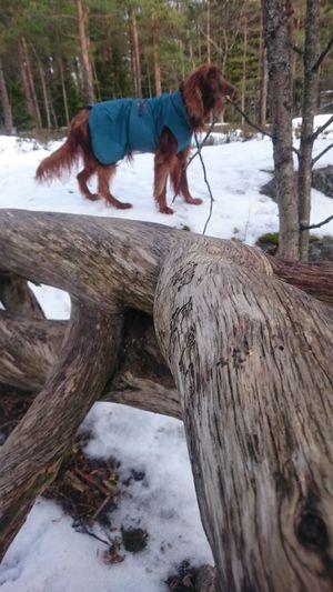 Irish Setter Walking Around In The Forest Snow Winterday Winterday Walk