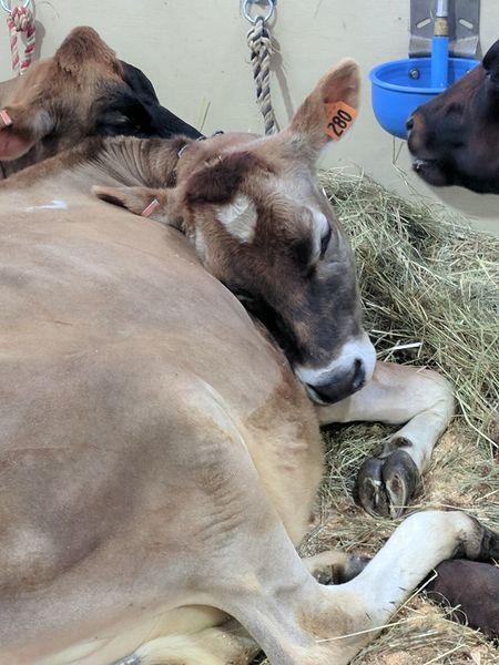 To sleep perchance Cowsofinstagram Fryeburg Fair Cowlove Sleepingcow Cow Getty+EyeEm Collection Getty Images Premium Collection Getty Images