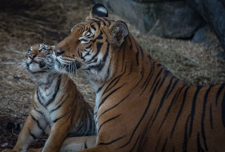 Close-up of tigers