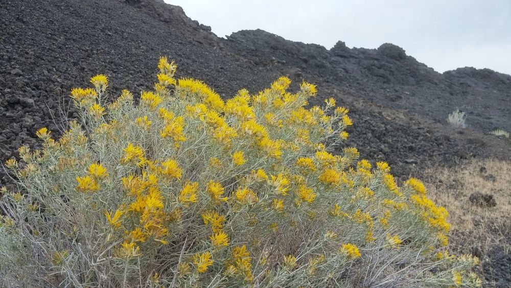 Coffeepot Crater Exploregon Flower In Bloom Lava Oregon Oregonexplored Overland Travel Overlanding Owyhee Owyhee Canyon Wndrlst Yellow