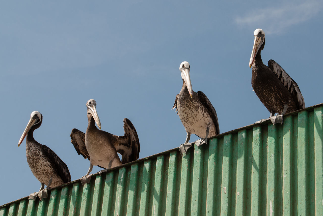 Low angle view of pelicans perching on fence against sky