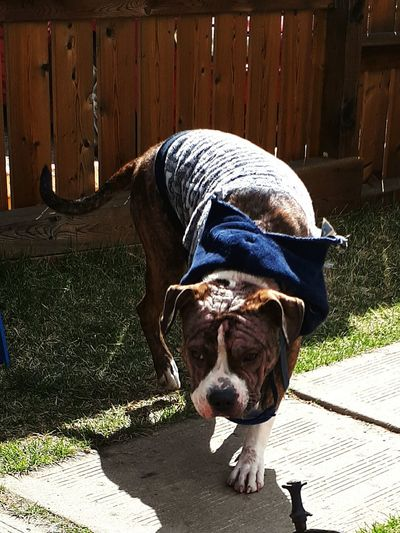Loving the sun! Day Outdoors No People One Animal Domestic Animals Pets Puppy Bully Breed Brindle Pitbull Sushine Dogs Dogs Of EyeEm Pitbull Puppy PitBullNation