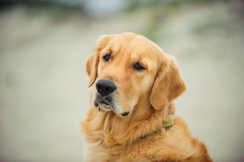 Golden Retriever dog outdoor portrait Canine Dog Pets One Animal Domestic Domestic Animals Animal Themes Animal Retriever Golden Retriever Focus On Foreground Close-up Looking Animal Body Part Portrait Animal Head  Day No People