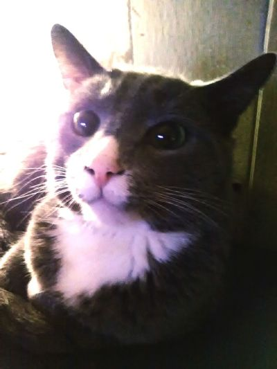 Hey Gumball Pets Portrait Feline Looking At Camera Whisker Close-up Cat At Home