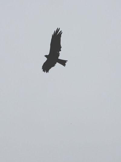 Bird Flying Animal Themes Sky Cloudy
