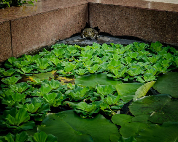 Frog in pond, Amphibian Animal Animal Photography Animals In The Wild Anura Botany Close-up Day Fragility Freshness Frog Garden Green Green Color Growing Leaf Life Lotus Leaf Lotus Leaves Lotus Pond Plant Pound Thailand Water Water Hyacinth Wet
