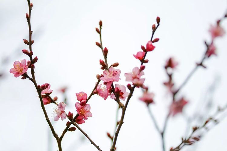 Plum Blossom Flowers Flower Collection Flowerporn Nature EyeEm Nature Lover Nature_collection Nature Photography Taking Photos EyeEm Best Shots EyeEm Gallery From My Point Of View The Week on EyeEm Plant Flower Flowering Plant Fragility Beauty In Nature Freshness Growth Pink Color Blossom Branch Petal Nature