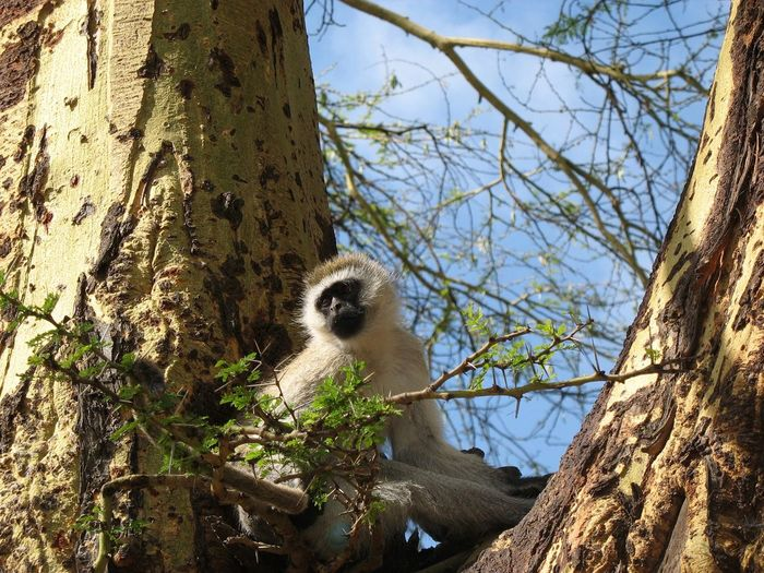 Velvet monkey in Tanzania Africa Wild Animal Photography Blue Balls Velvet Monkey Tree Plant Tree Trunk Trunk Nature Branch No People Day Low Angle View Growth Sky Bare Tree Sunlight Animal Animal Themes Outdoors One Animal Beauty In Nature