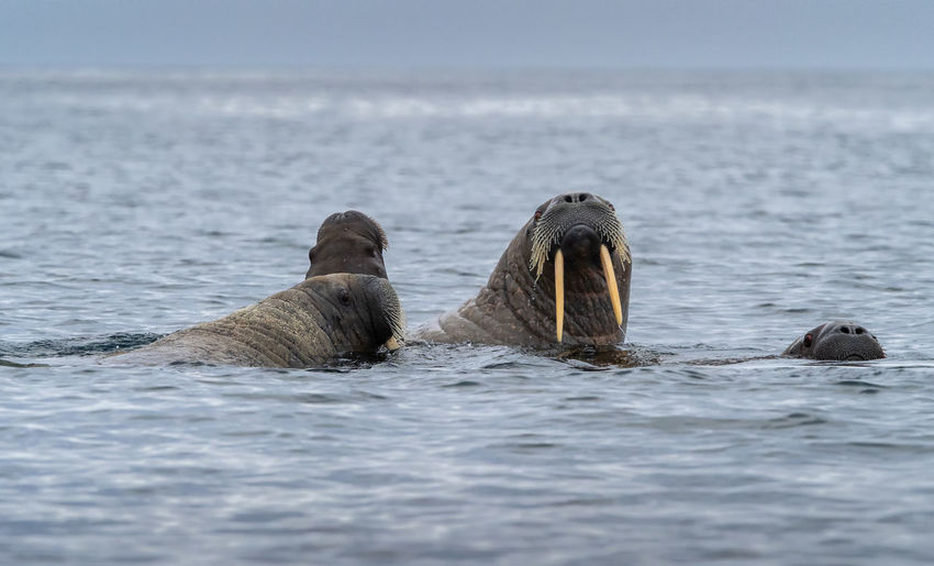 A family of Walrus, Svalbard Water Sea Animal Wildlife Animals In The Wild Mammal Animal Themes Animal Group Of Animals Aquatic Mammal Nature No People Beauty In Nature Marine Wall - Building Feature Walrus Svalbard  Arctic