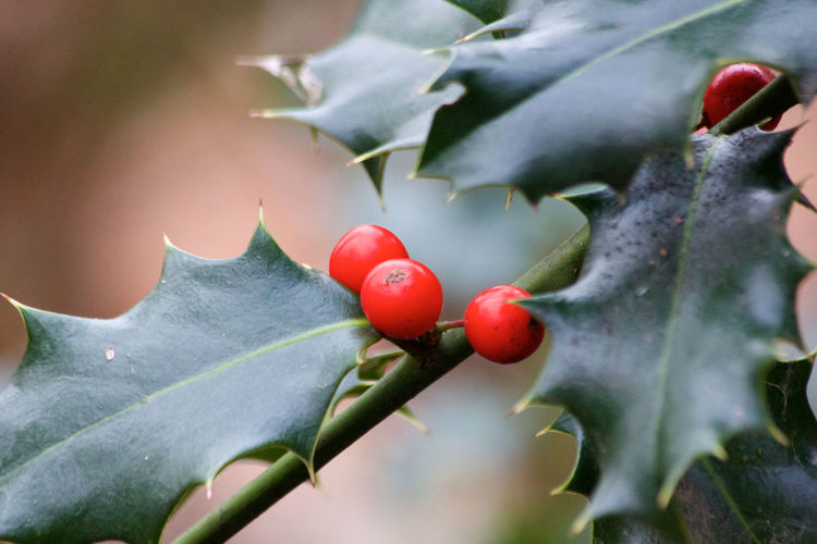 Red Growth Fruit Leaf Plant Part Plant Close-up Nature Beauty In Nature Day No People Berry Fruit Outdoors Green Color Holly
