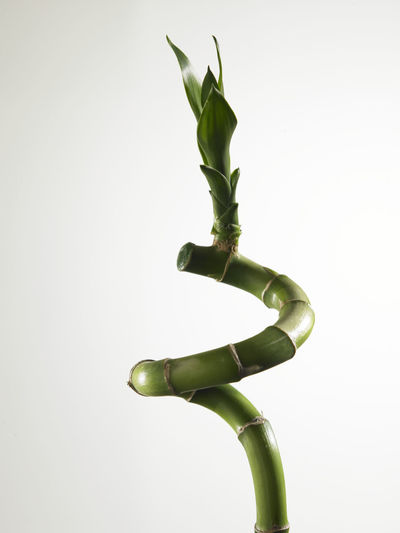 lucky bamboo as item of feng shui or decoration during chinese new year Freshness Gong Xi Fa Cai Green Green Color Growth Lucky Nature Plant Abstract Bamboo Chinese New Year Culture Decoration Ever Green Fengshui  Stem Strength Symbol Tropical
