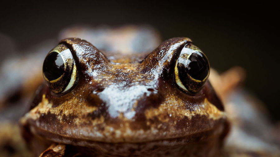 Close-up portrait of frog
