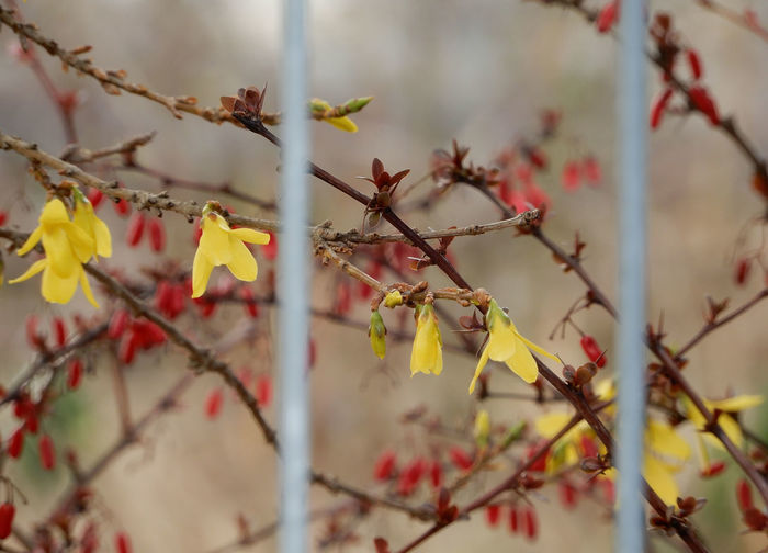 Forsythia × intermedia, Berberis thunbergii Plant Branch Growth Day No People Yellow Outdoors Fence Hedge Flowering Bush Forsythia Flowering Plant