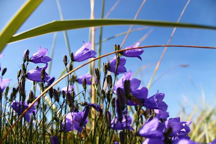 Close-up of purple flowering plants against blue sky
