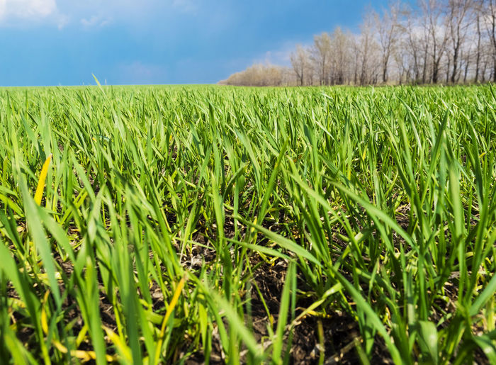 Winter wheat sprouts Plant Field Growth Land Landscape Agriculture Green Color Rural Scene Sky Crop  Environment Farm Beauty In Nature Tranquility Nature Day Tranquil Scene No People Cereal Plant Scenics - Nature Outdoors Surface Level Plantation
