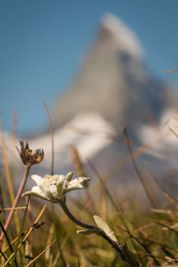 A Swiss cliché in a nutshell Matterhorn  Zermatt Background Beauty In Nature Close-up Day Edelweiss Flower Flowering Plant Focus On Foreground Fragility Growth Landscape Mountain Nature Outdoor Outdoors Plant Selective Focus Sky Summer Sunlight Switzerland