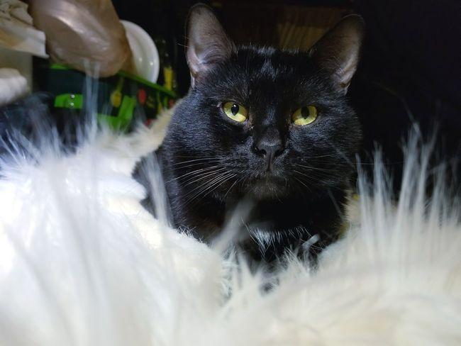 EyeEm Black Cats Black Cat White Blanket Best Friend Colorado Springs CO USA Taking Photos ❤ Domestic Cat Pets Feline One Animal Black Color Domestic Animals