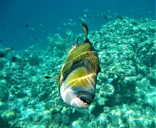 Drückerfisch Drückerfisch Triggerfish Animal Themes Animal Wildlife Animals In The Wild Balistes Close-up Day Fish Nature No People One Animal Outdoors Sea Life Swimming UnderSea Underwater Water 砲彈
