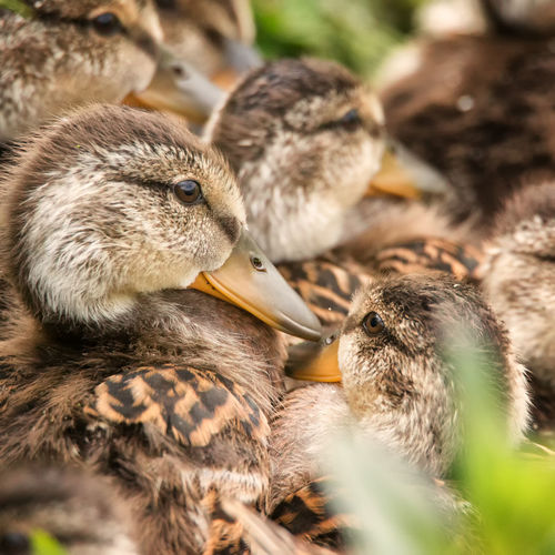 Close-up of ducklings